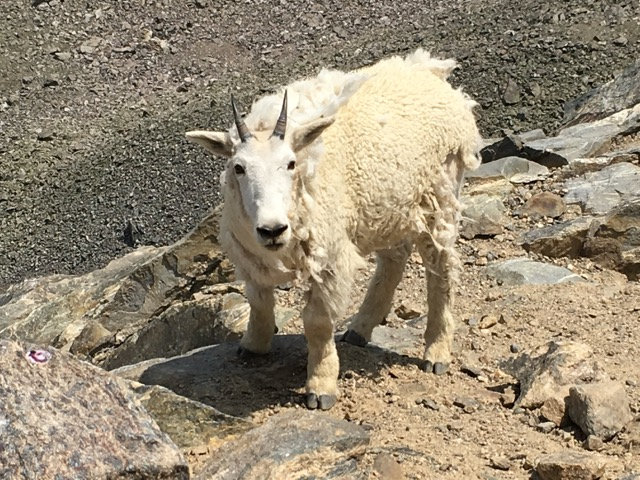 a mountain goat in Rocky Mountain National Park Colorado on a guided sightseeing trip.